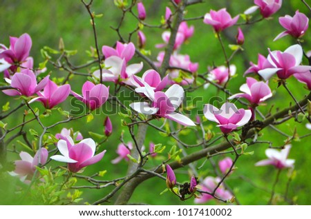 Bloomy magnolia tree big pink flowers stock photo safe to use bloomy magnolia tree with big pink flowers mightylinksfo