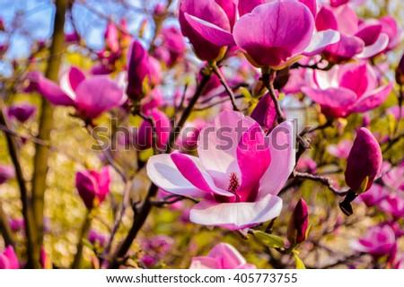 Bloomy magnolia tree big pink flowers stock photo edit now bloomy magnolia tree with big pink flowers spring is hereblooming magnolia in mightylinksfo