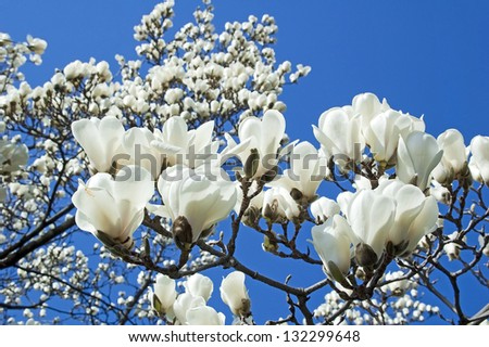 Bloomy magnolia tree big white flowers stock photo royalty free bloomy magnolia tree big white flowers stock photo royalty free 132299648 shutterstock mightylinksfo Images