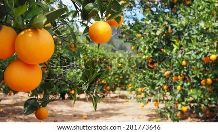 Bloomy orange garden in Valencia - stock photo
