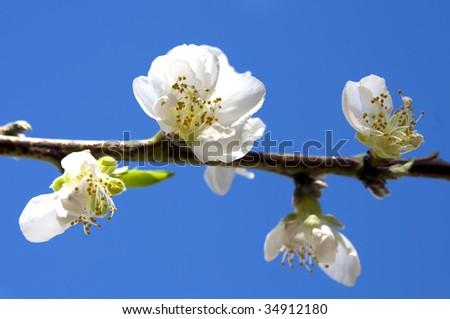 Blossom against a blue sky - stock photo