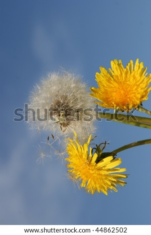 Blossom and seed  dandelion flowers - stock photo
