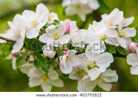 Blossom apple over nature background, spring flowers