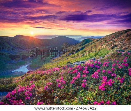 Blossom carpet of pink rhododendron flowers in the mountains at sunrise - stock photo