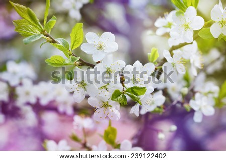 blossom cherry branch, beautiful spring flowers for vintage background, lovely landscape of nature - stock photo