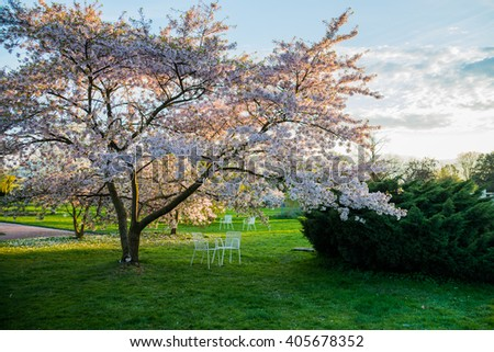 blossom cherry tree in park with blue sky