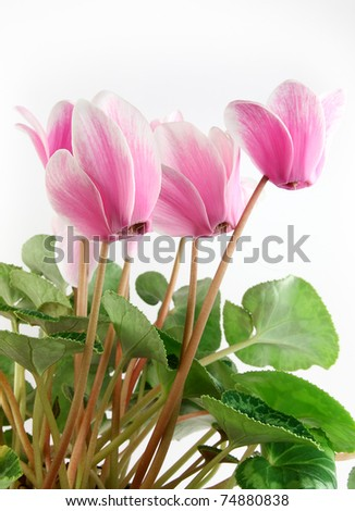 Blossom Cyclamen persicum - stock photo