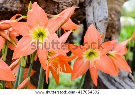blossom flowers Amaryllis or Hippeastrum with fresh mood.Colorful orange flowers blooming .Orange flowers Hippeastrum or Amaryllis in nature garden background, Amaryllidaceae - stock photo