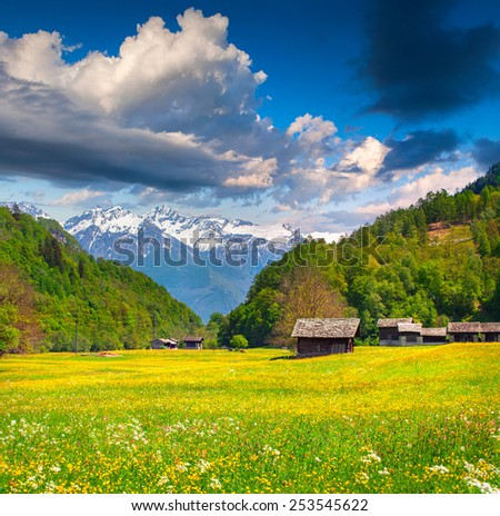 Blossom fold of flowers in the swiss alps. - stock photo