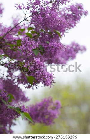 Blossom Lilac branches - stock photo