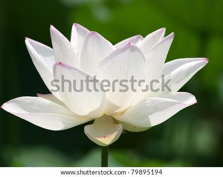 blossom lotus flower - stock photo
