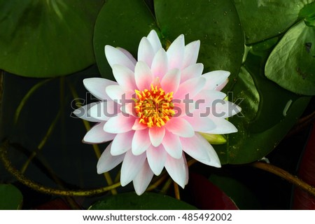 Blossom Lotus flowers