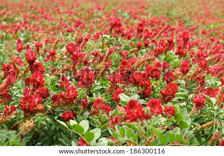 Blossom lupine field background on sunny day on spring in Malta, red lupine field, maltese landscape, maltese nature, red flowers field, Malta, typical maltese flora, maltese flora - stock photo