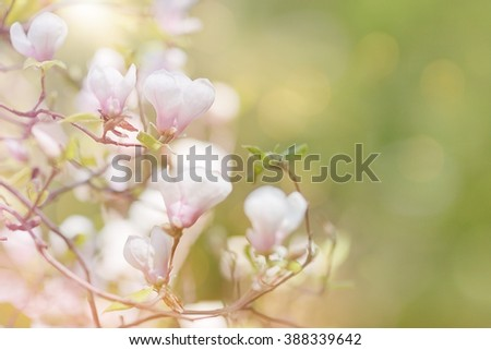 Blossom magnolia branch in sunny spring morning, used as background. Beautiful outdoor scenery - stock photo