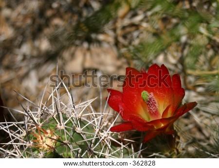Blossom of a Hedgehog Cactus on Cedar Mesa, Utah - stock photo