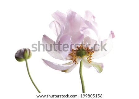 Blossom of fall anemone (Anemone japonica), close-up