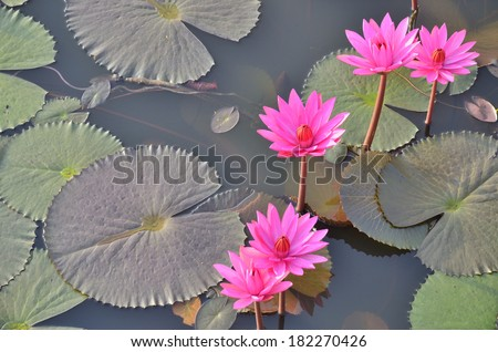 Blossom of lotus flower - stock photo