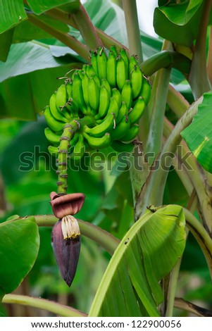 blossom of the banana tree