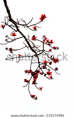 stock-photo-blossom-of-the-red-silk-cott