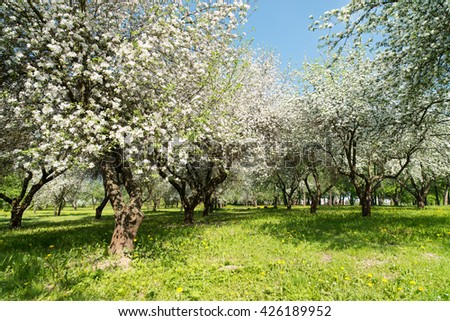 Blossom orchard in spring