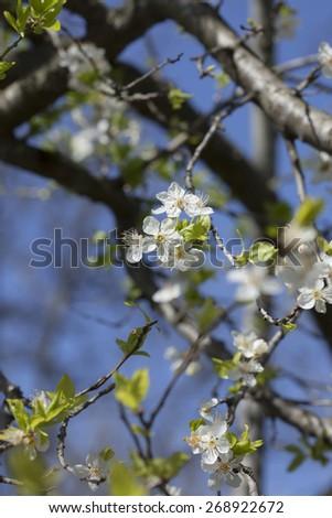 Blossom plum tree - stock photo