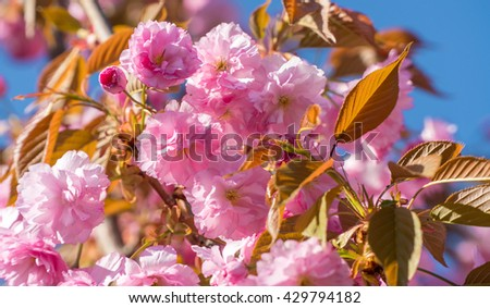 Blossom sakura tree branch closeup background. Blossom sakura. Blossom tree. Blossom cherry. Pink blossom. Blossom close up. Blossom blossoming. Blossom flowering. Spring blossom. Blossom flower pink - stock photo