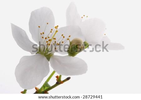 Blossom_ white apple blossom - stock photo