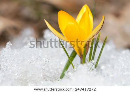 Blossom yellow crocus on the snow - stock photo