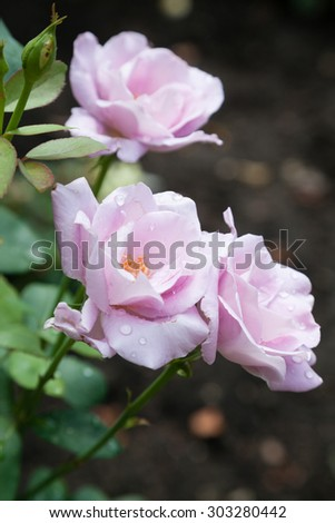 Blossomed pink rose with mildew and selective focus - stock photo