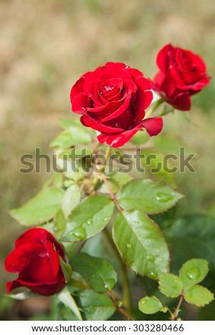 Blossomed red rose with mildew and selective focus - stock photo