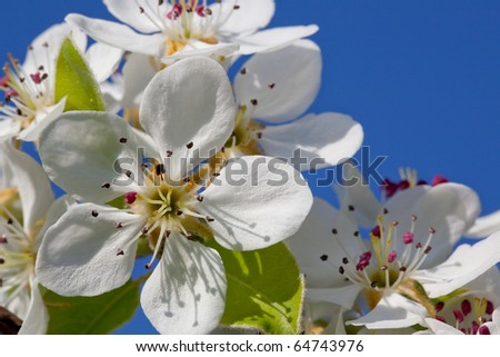Blossoming a spring cherry - stock photo