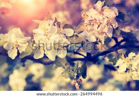 Blossoming apple orchard glowing by sunlight. Ukraine, Europe. Beauty world. Retro and vintage style, soft filter. Instagram toning effect. - stock photo