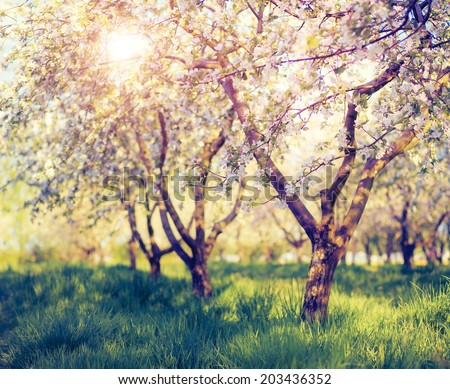 Blossoming apple orchard in spring. Retro filtered. Instagram effect. Ukraine, Europe. Beauty world. - stock photo