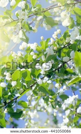 blossoming apple tree - stock photo