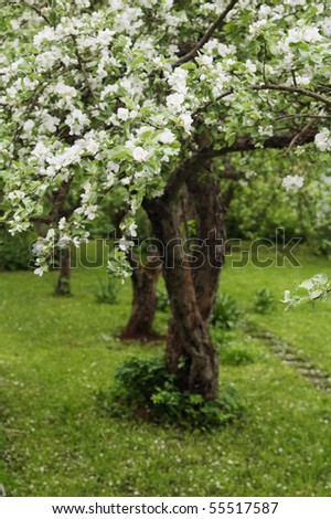 Blossoming apple-tree - stock photo