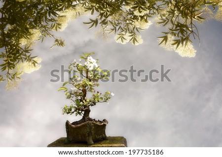Blossoming apple tree bonsai under a big tree - stock photo