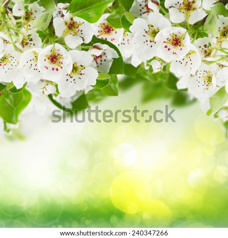 Blossoming apple  tree flowers with green leaves on green bokeh background - stock photo