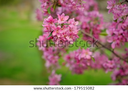 Blossoming apple-tree on a background of green grass - stock photo