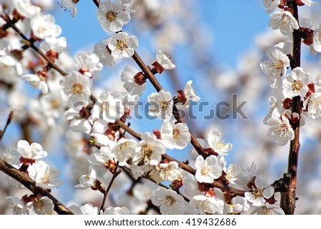 Blossoming apricot. Flowering white tree - stock photo