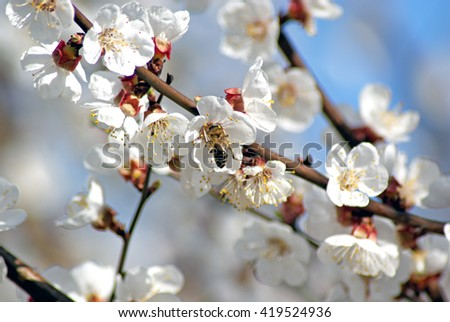 Blossoming apricot. Flowering white tree. Bee pollinates flower - stock photo