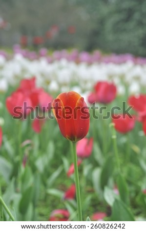 Blossoming beautiful flower tulip with water drops