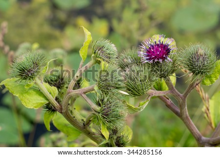 Blossoming beautiful flower with burdock prickles