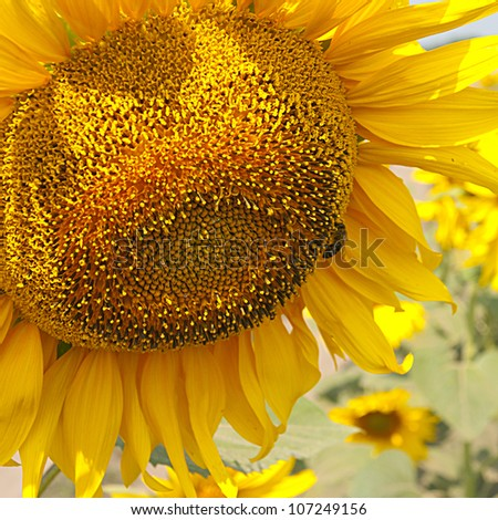 Blossoming big sunflower with a bee on it. - stock photo