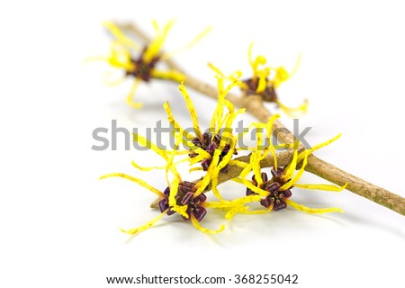 Blossoming branch of a witch hazel, medicinal plant Hamamelis, isolated with shadow on a white background, closeup with selected focus, narrow depth of field - stock photo