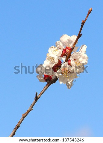 Blossoming branch with with flowers of cherry plum - stock photo