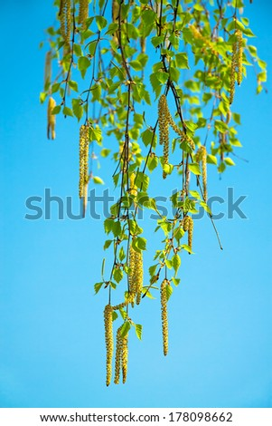 blossoming branches of a birch in the spring against the blue sky - stock photo