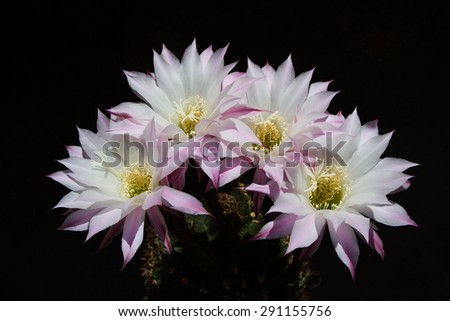 Blossoming cactus on black background