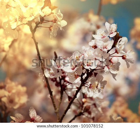 Blossoming cherry - stock photo