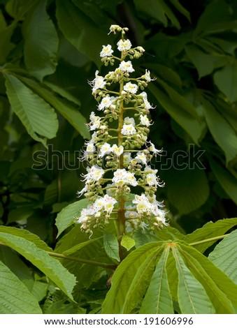 Blossoming chestnut tree. White flower. - stock photo