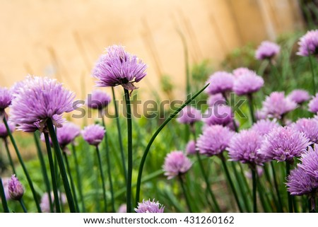 Blossoming chives in vegetable garden